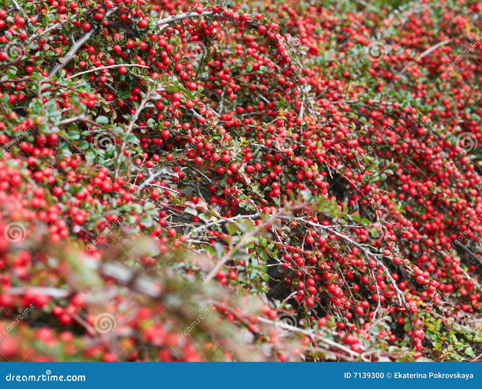 Bacche rosse di autunno fotografia stock immagine di for Bacche rosse nomi