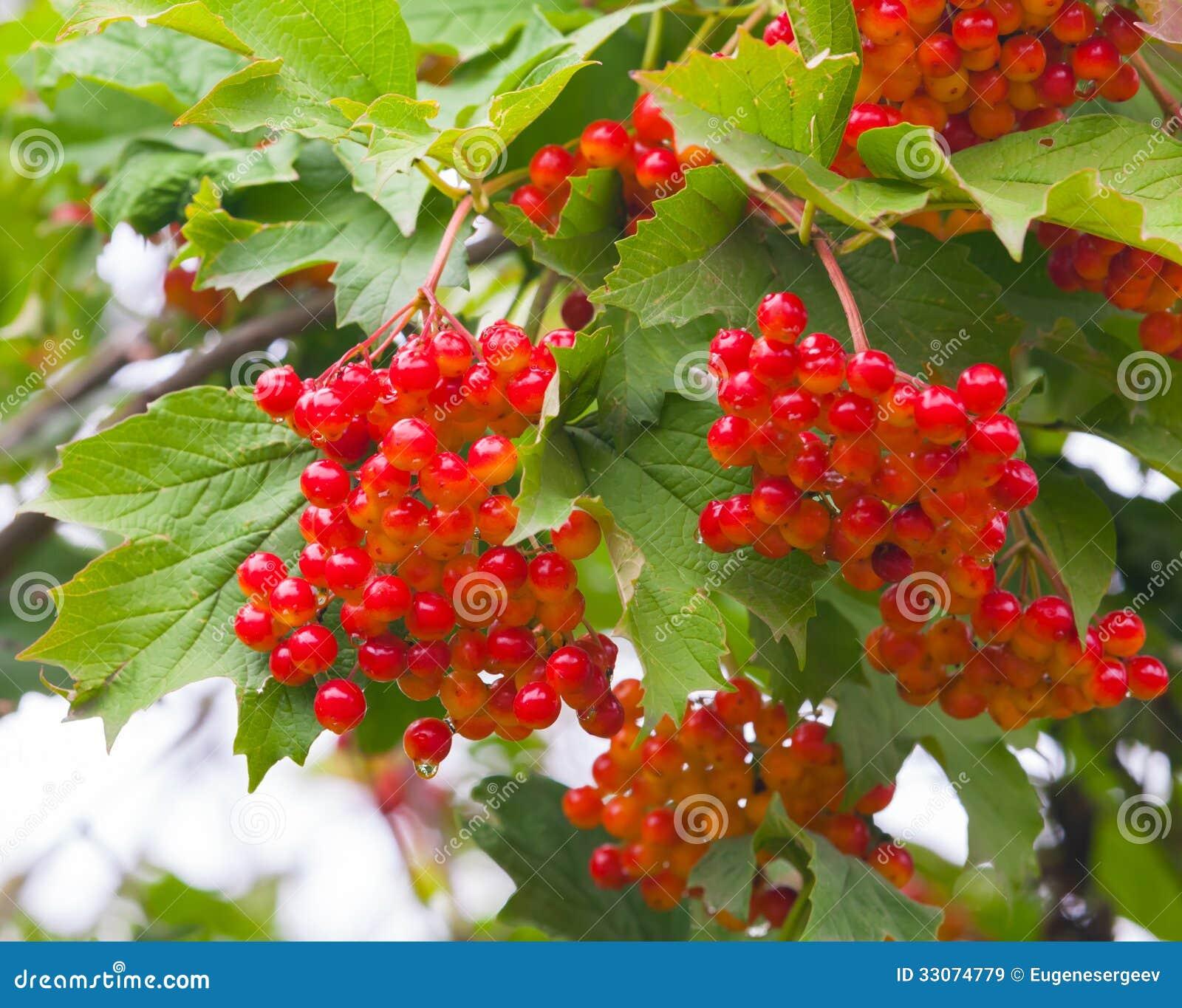 Bacche rosse di viburno immagini stock libere da diritti for Bacche rosse nomi