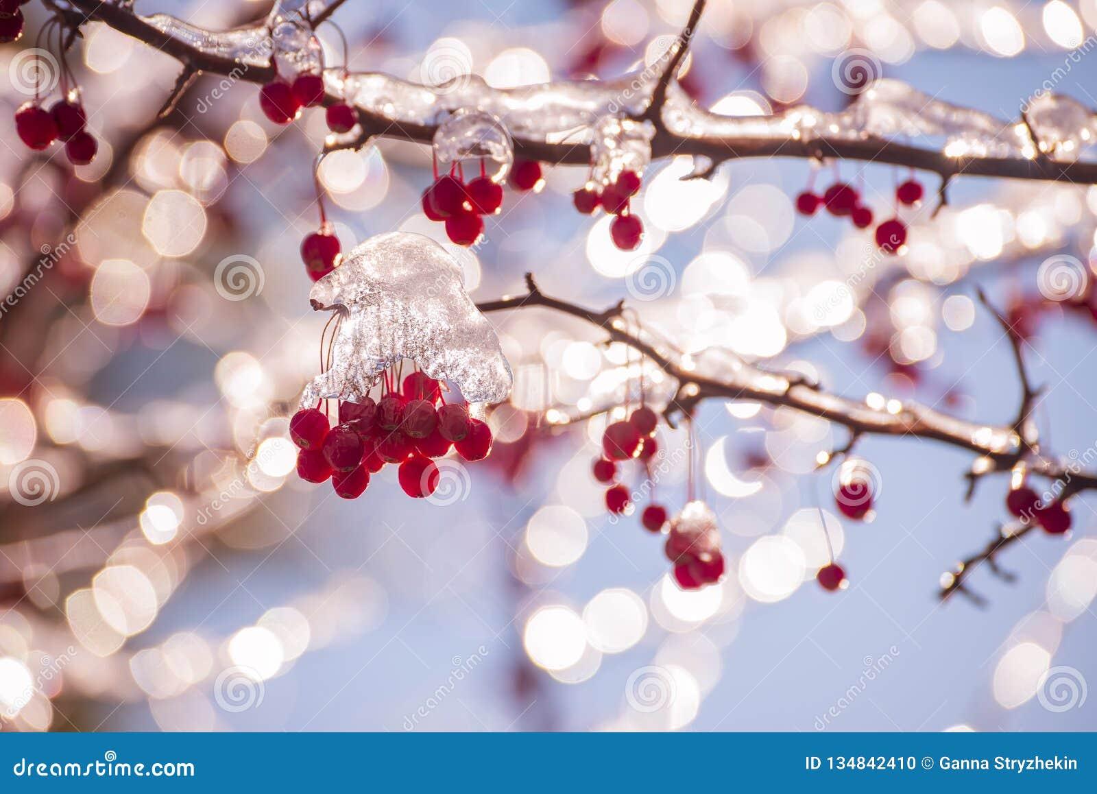 Bacche rosse nel ghiaccio e nel bokeh festivo scintillante