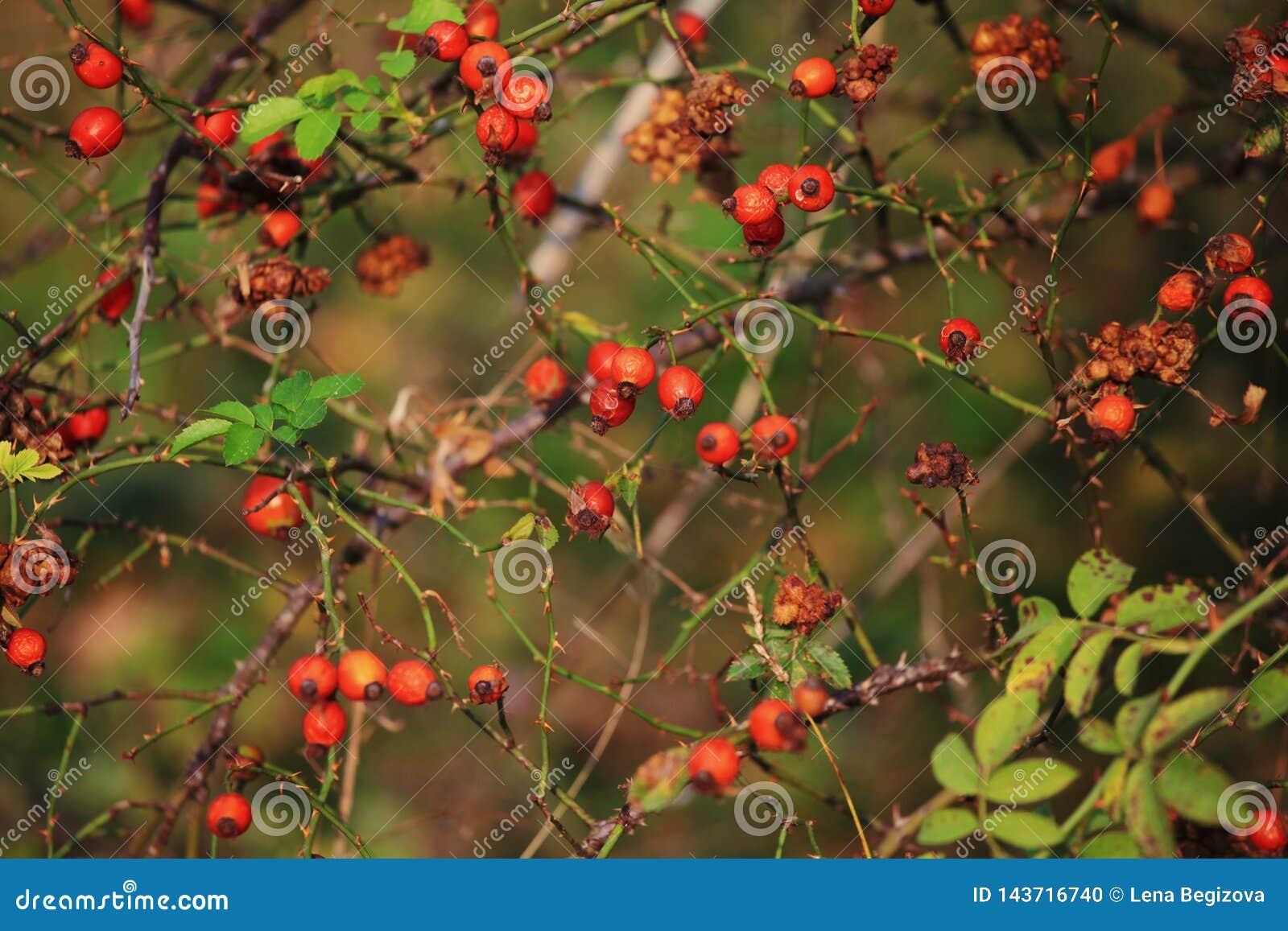 Bacche rosse selvatiche della foresta