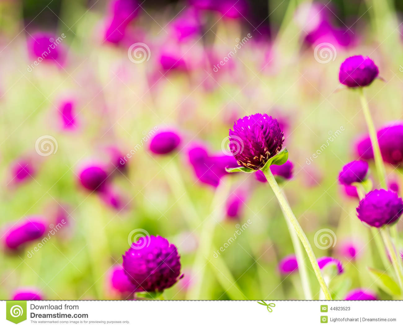 Bachelor Button Flower Stock Image Image Of Beauty Green 44823523