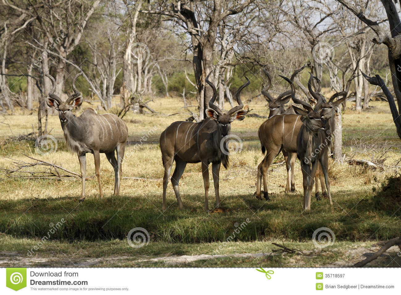 Bachelor herd of Kudu stock image. Image of greater, prey ...