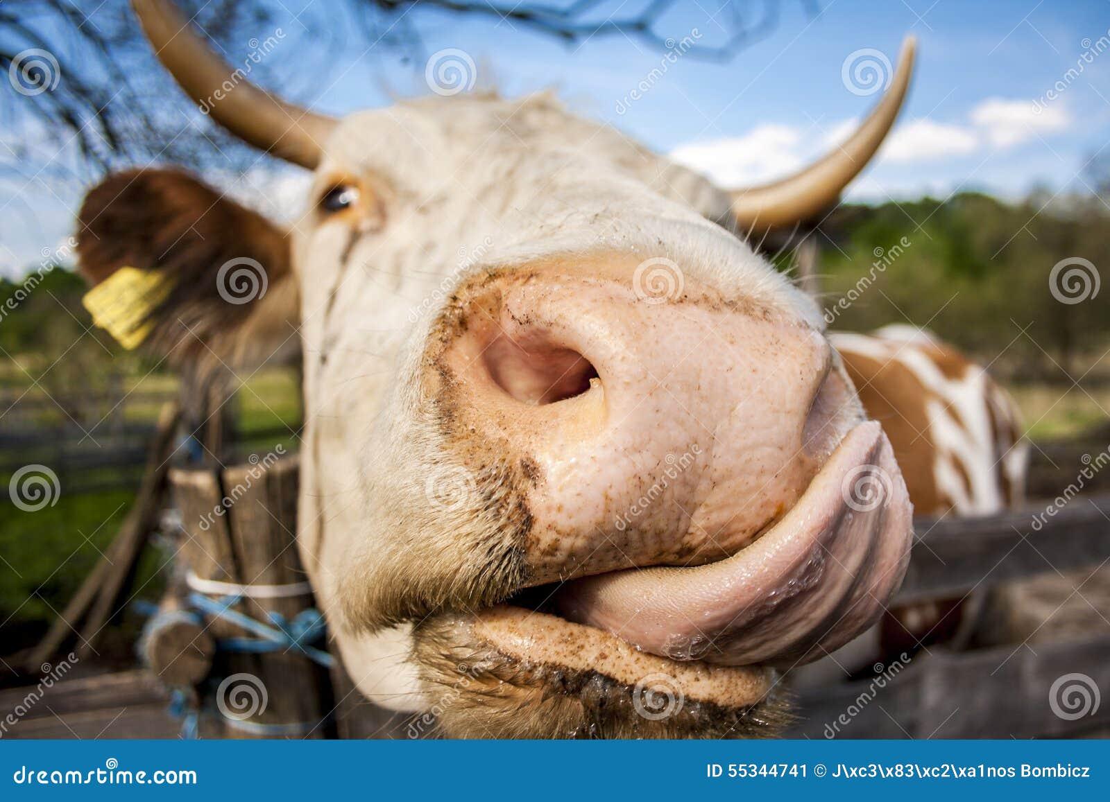 Risultati immagini per leccata di mucca