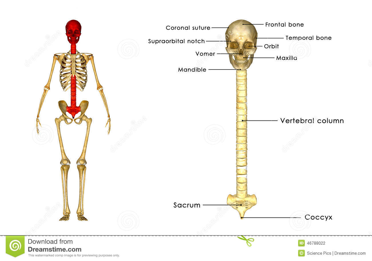 Back bone with skull stock illustration. Illustration of blue - 46788022