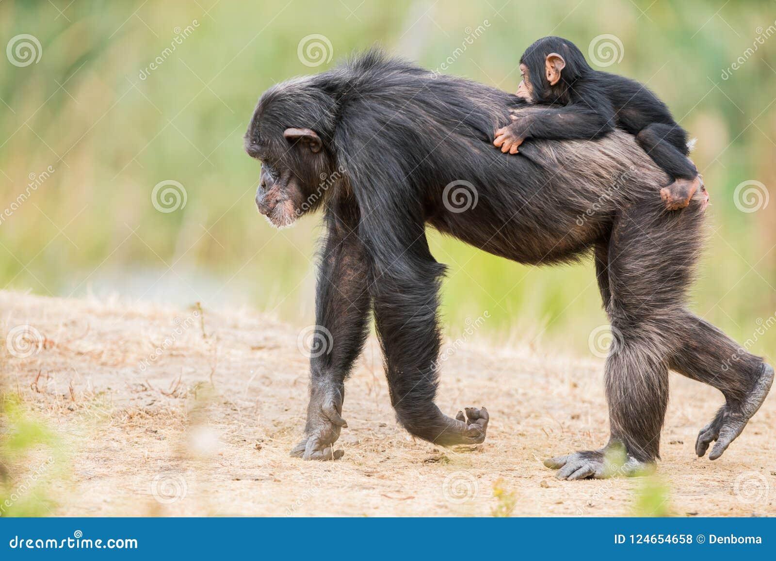Common chimpanzee with a baby chimpanzee