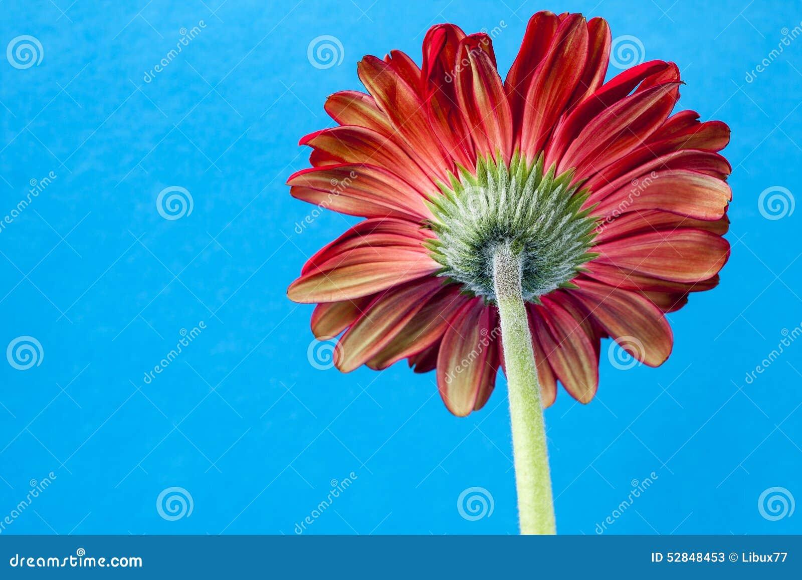 Back Gerbera Daisy Flower stock image. Image of detail - 52848453