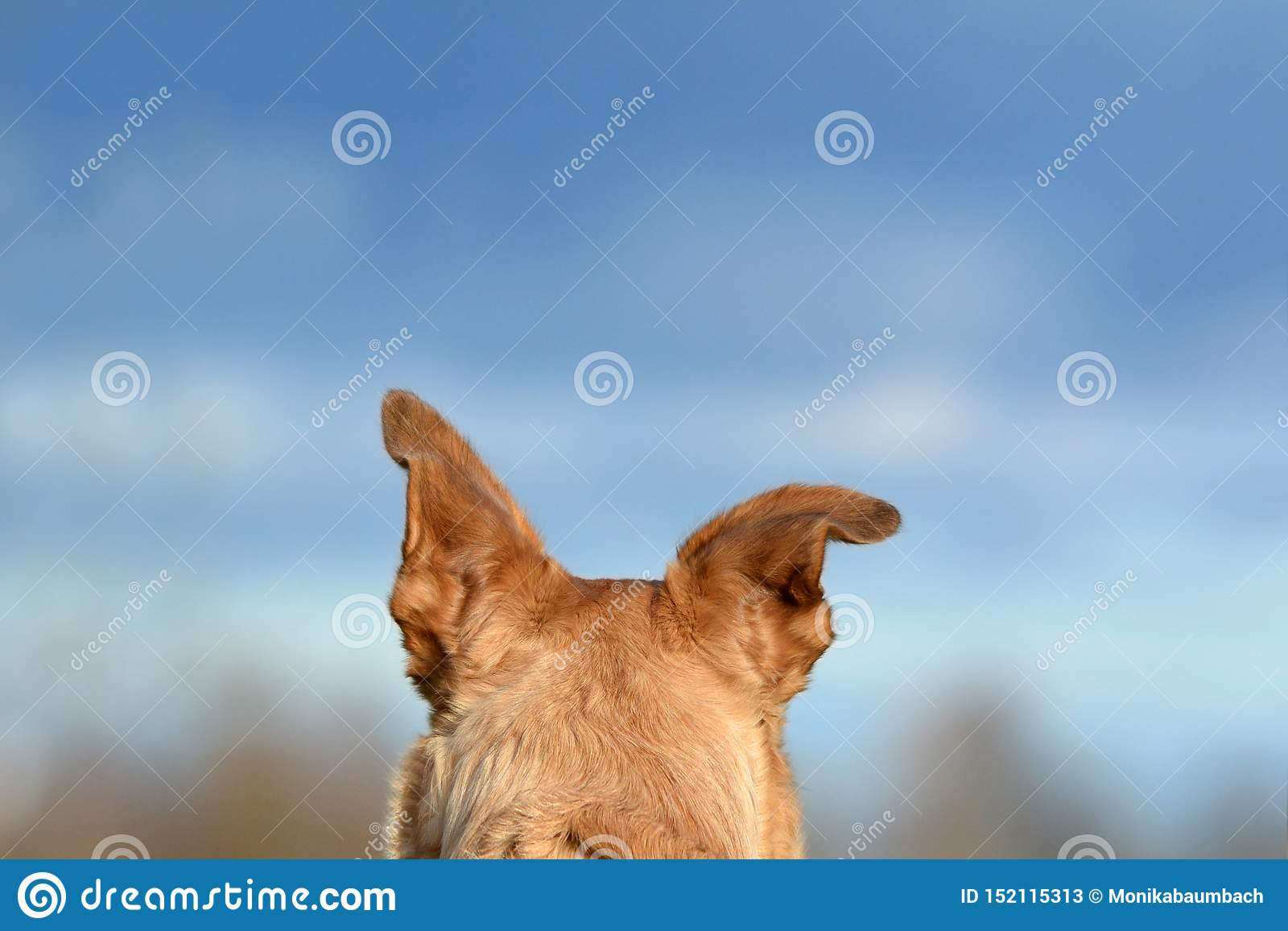 Back of the head with floppy ear of a light brown shepherd mix dog in front of blue sky