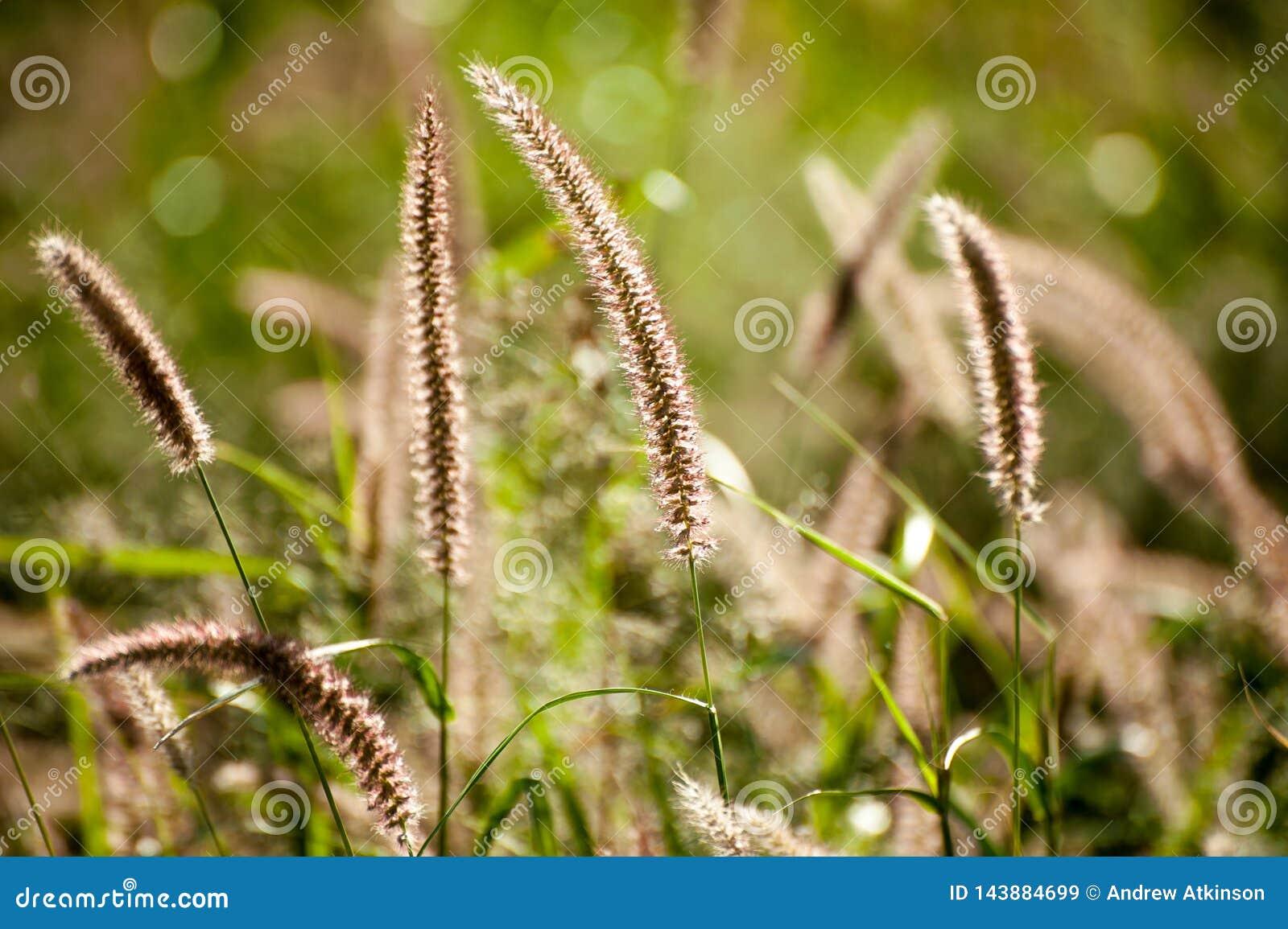 Pennisetum Fountain Grass Pennisetum Alopecuriodes An Ornamental