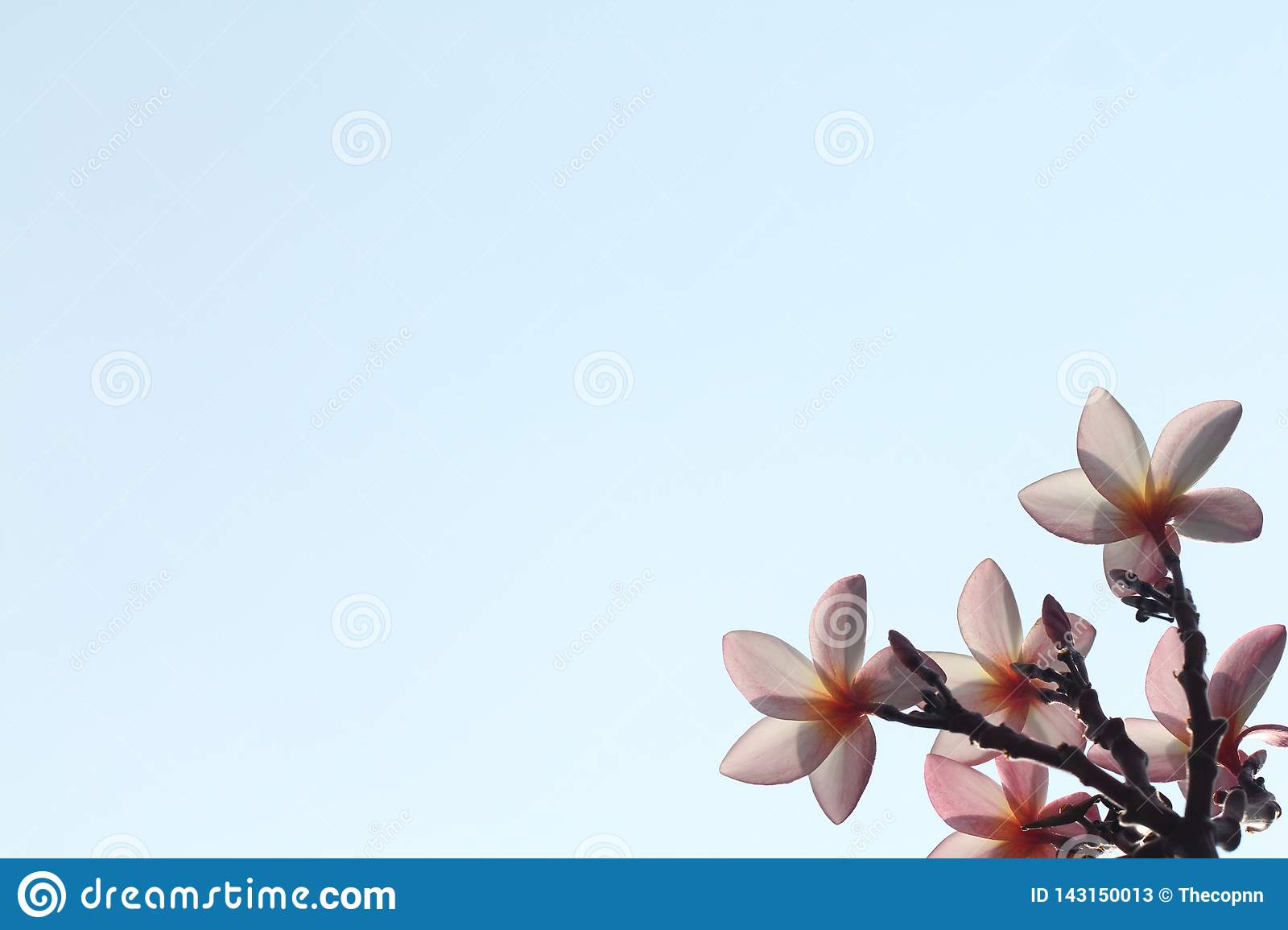 Back side view of pink flower on blue sky background without cloud