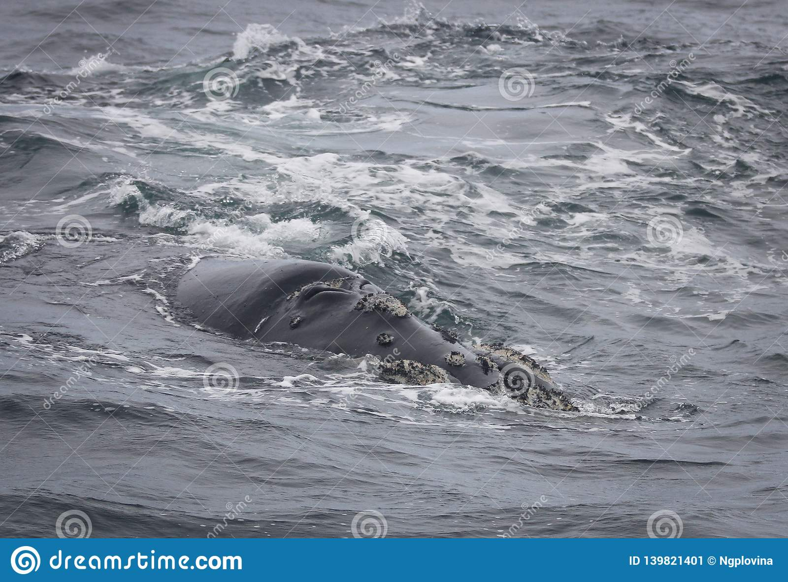 Back of a Southern Right Whale swimming near Hermanus, Western Cape. South Africa.