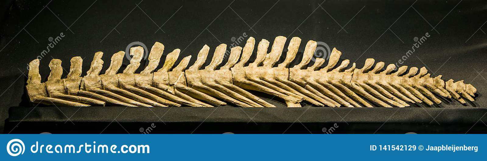 The back spine of a extinct mosasaurus lemonnieri, a aquatic lizard that lived during the cretaceous period in europe and America