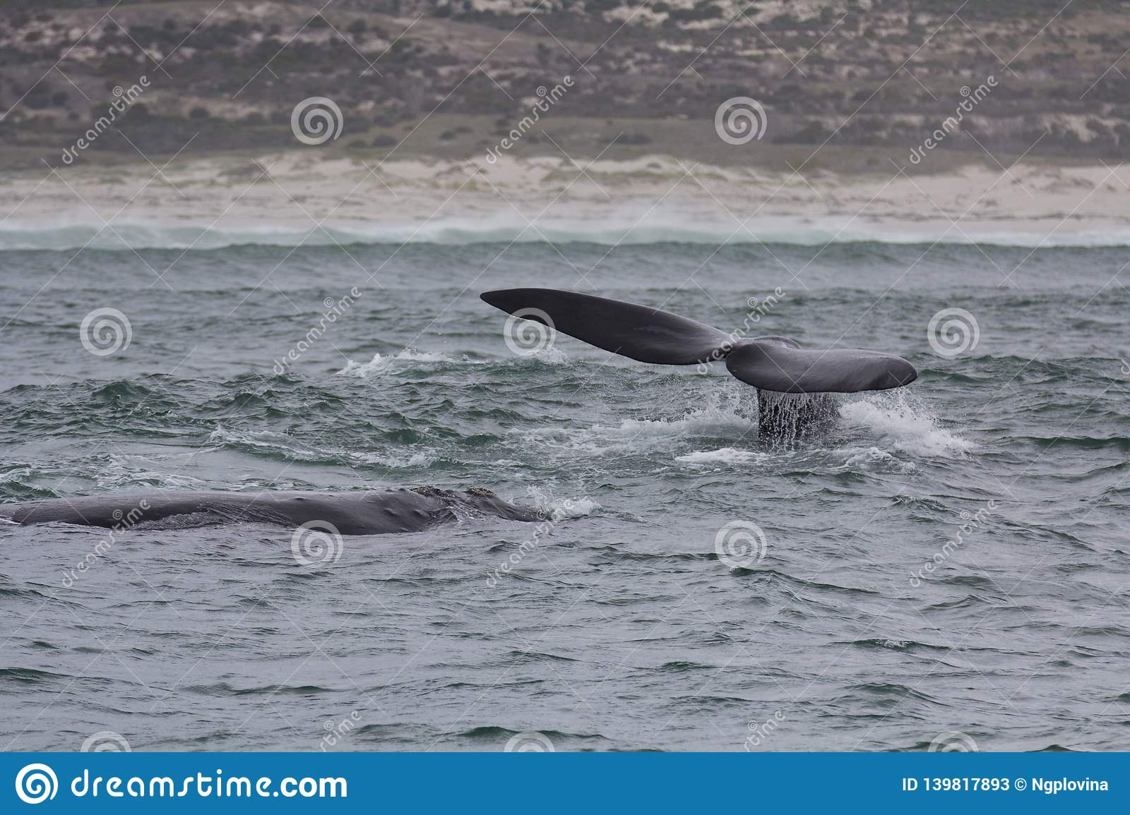 Back and tail of Southern Right Whales swimming near Hermanus, Western Cape. South Africa.