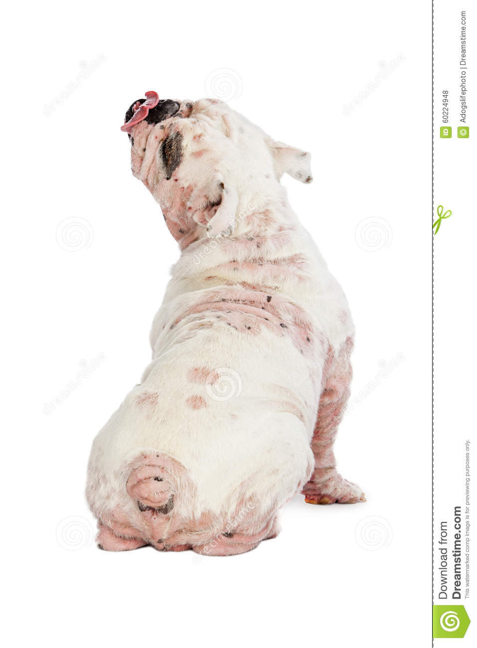 back view of dog with demodectic mange stock photo image english bulldog clipart black and white english bulldog clipart head