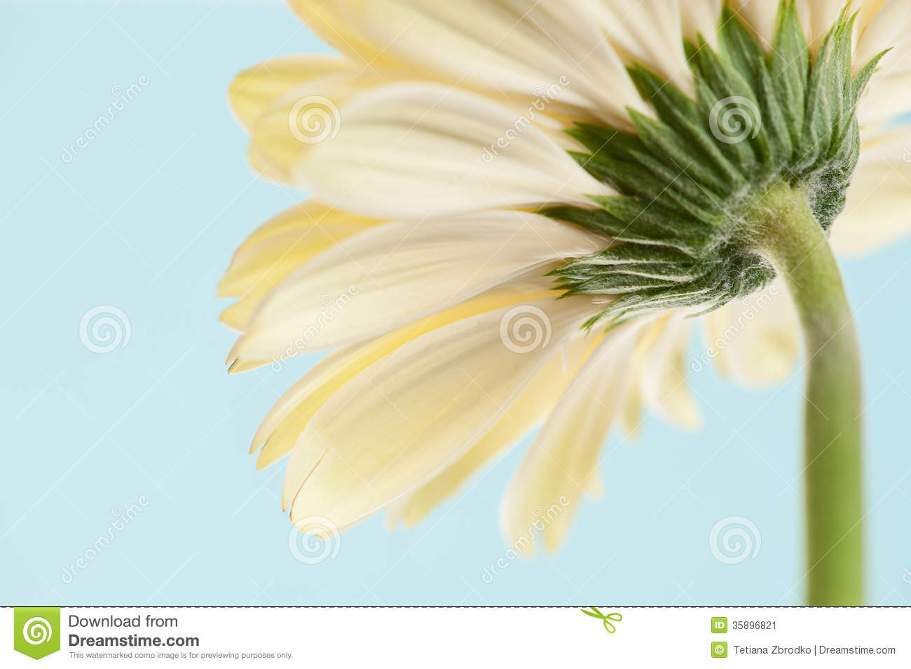 Back view gerbera stock image image of blossoming single 35896821 back view gerbera izmirmasajfo Gallery
