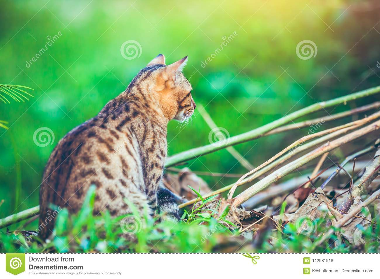 Bengal cat go hunting in forest. Outdoor with bright sunlight.
