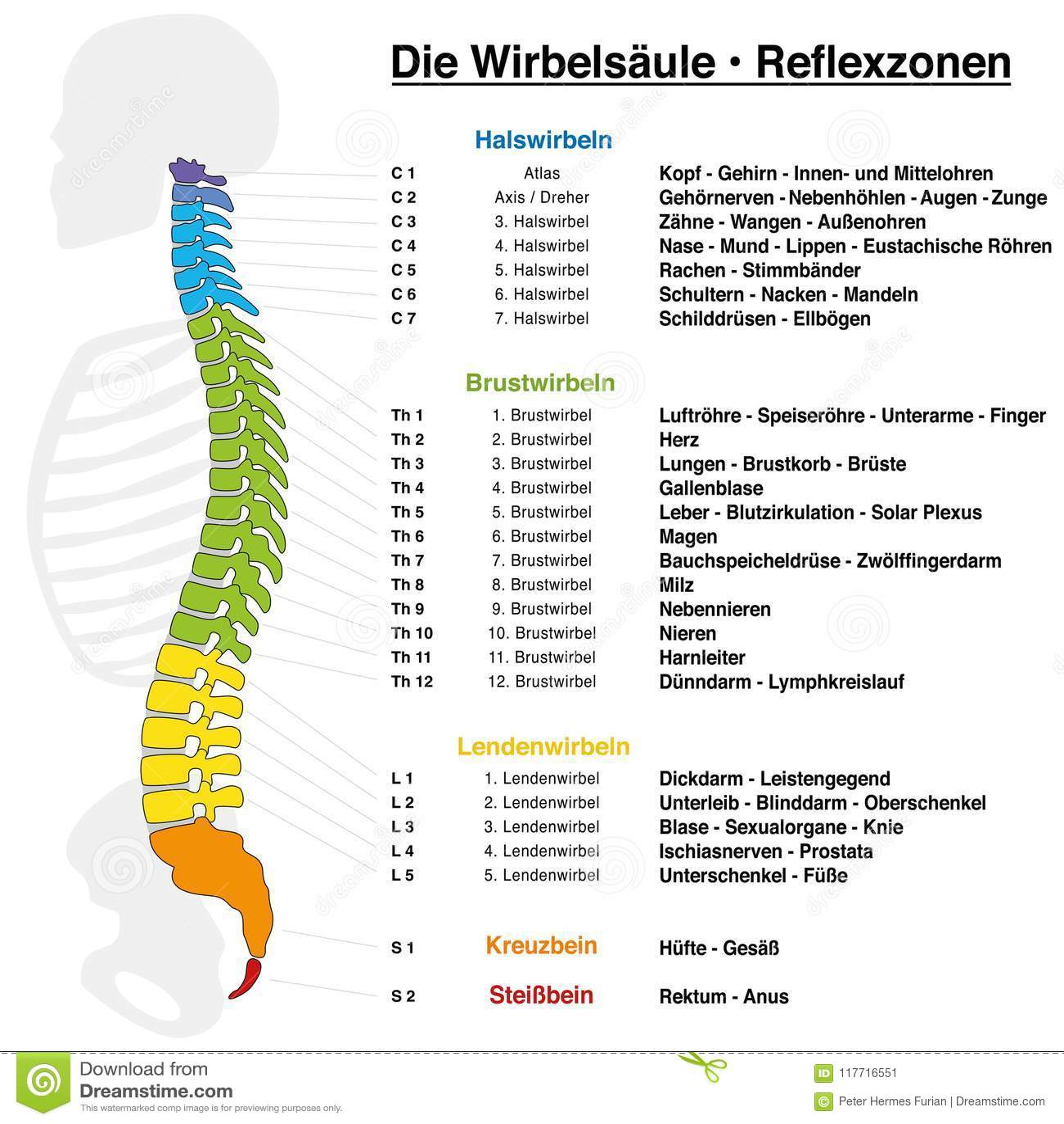 Schön Wirbelsäule C7 Galerie - Physiologie Von Menschlichen ...