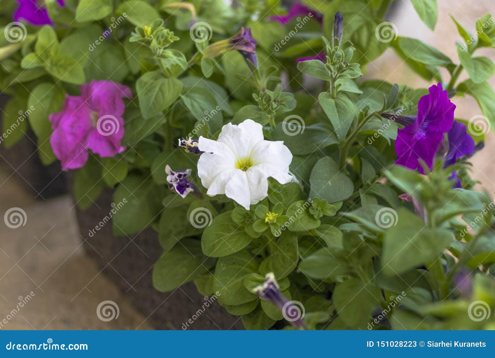 Backfround kwitnie do domu odosobnionego nadmiernego biel petunia Naturalny o?wietlenie tonowanie Zako?czenie