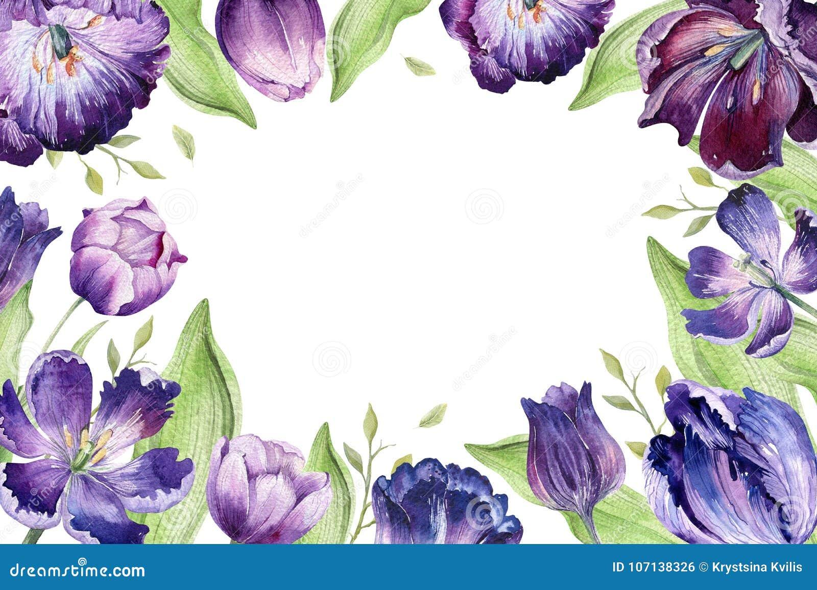 Backgraund floral del tulipán de la acuarela Ejemplo colorido aislado de la primavera Planta violeta del tulipán del Watercolour