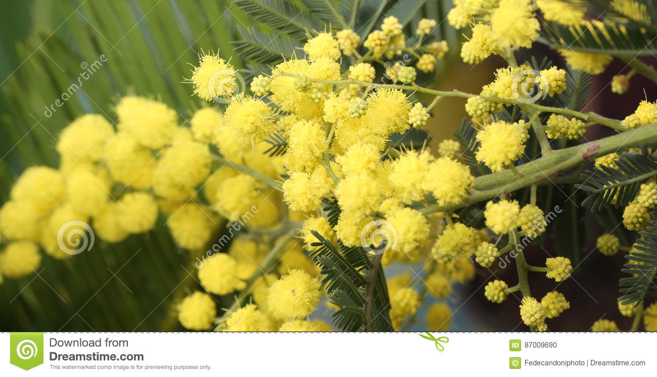 Background Of Beauty Yellow Mimosa Flowers On The Plant Stock Photo