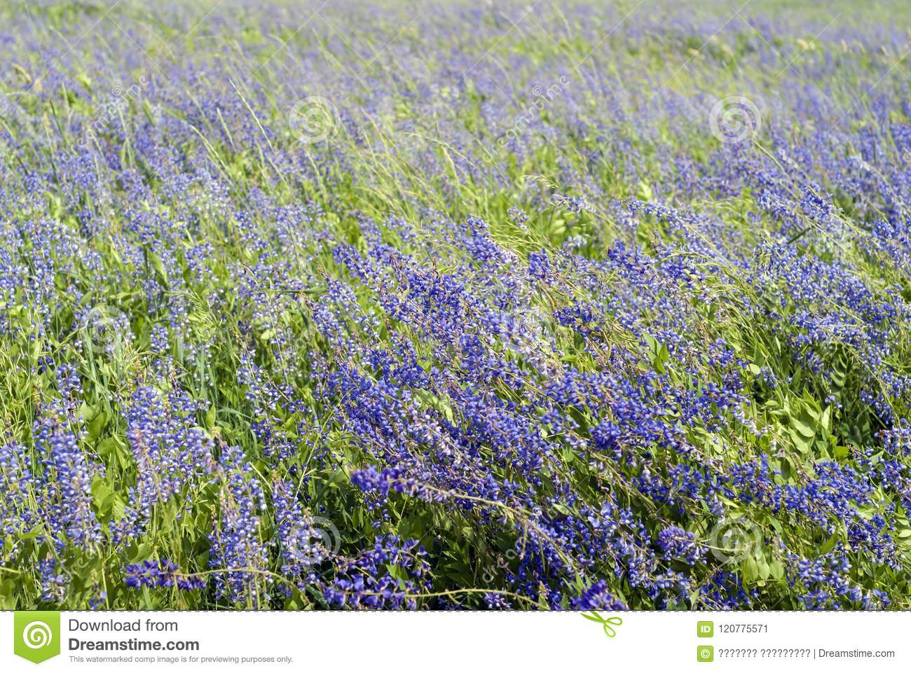 Background Wind On An Alfalfa Field Stock Image Image Of Flowers
