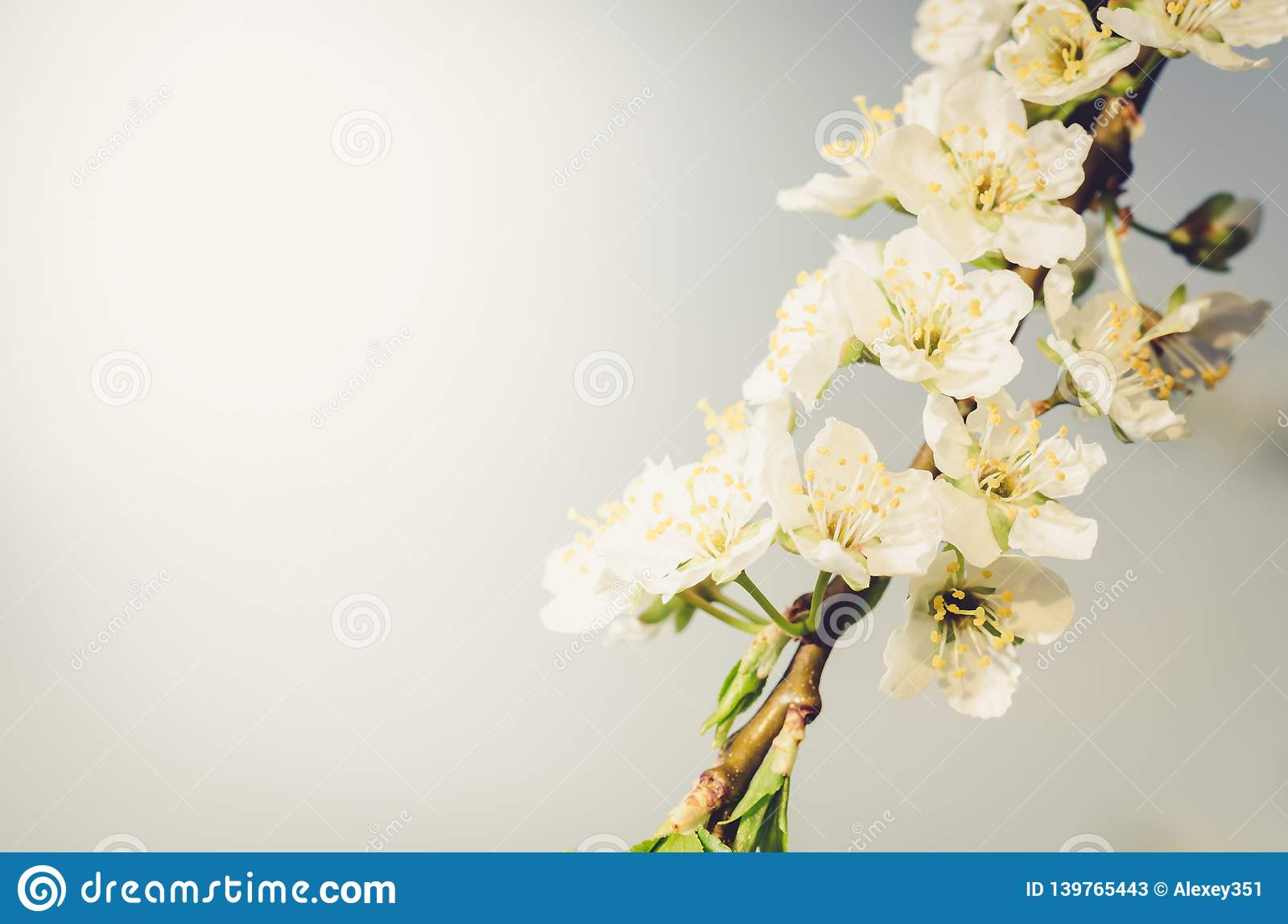 Background from branches of apple trees with white flowers on blue sky/Spring flowers. Beautiful Orchard. Spring holidays