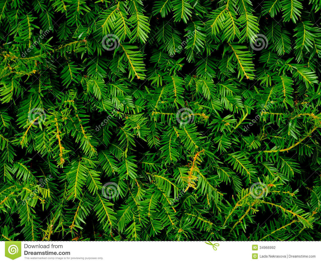 Decorative Evergreen Trees Landscape Evergreens Trees