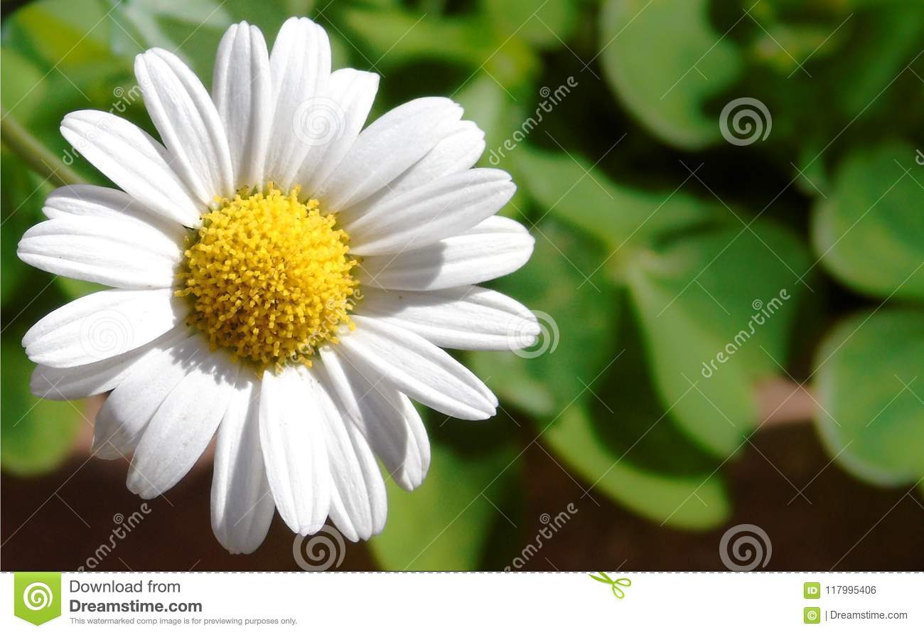 Closeup of a little white daisy, perfectly round flower.