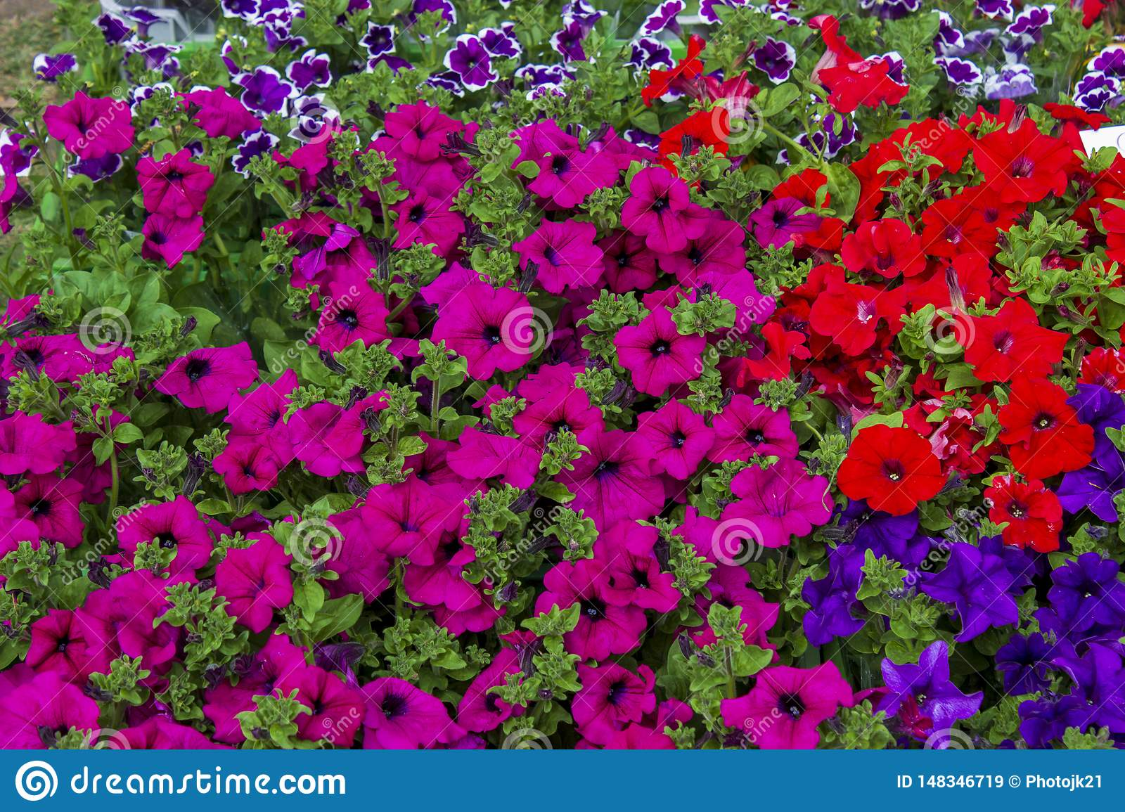 Background composed blue red pink violet petunia