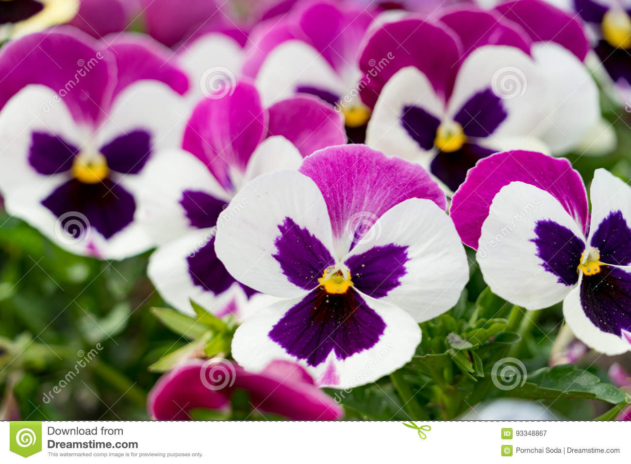 A Background Of Dark Pink And White Pansies Flower Stock Image