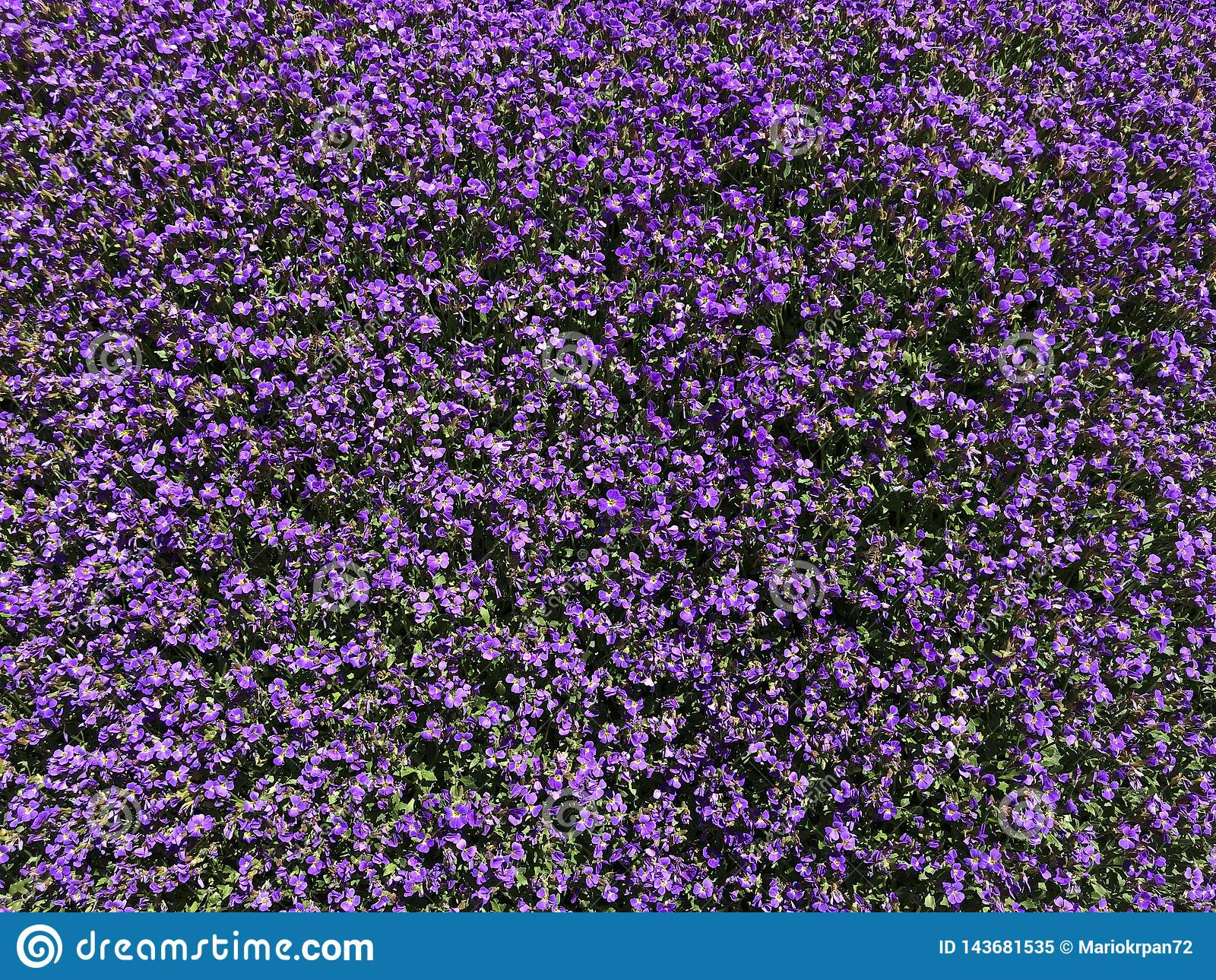 Background with decorative purple Alpine garden flowers