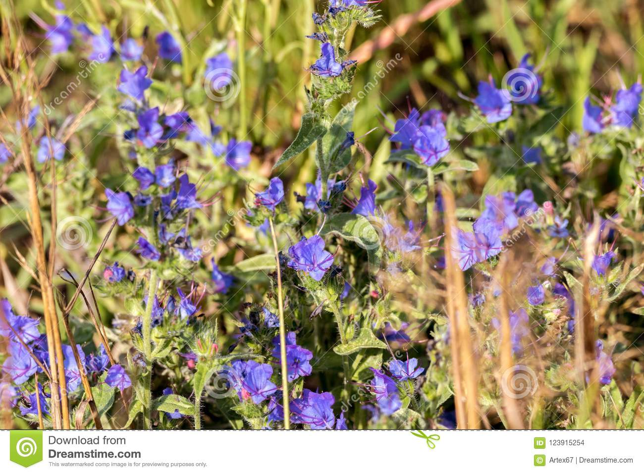 background field of blue flowers on a meadow stock photo image of