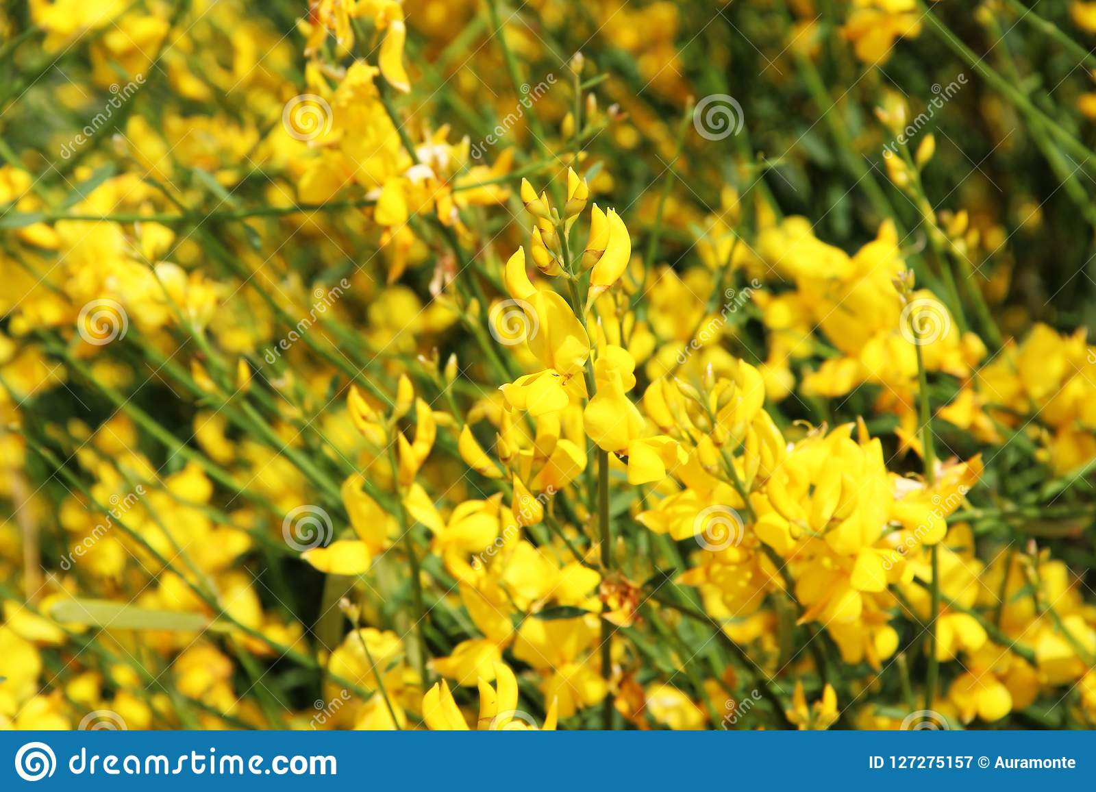 Photo Of Background Flowering Yellow Broom Flower Stock Image