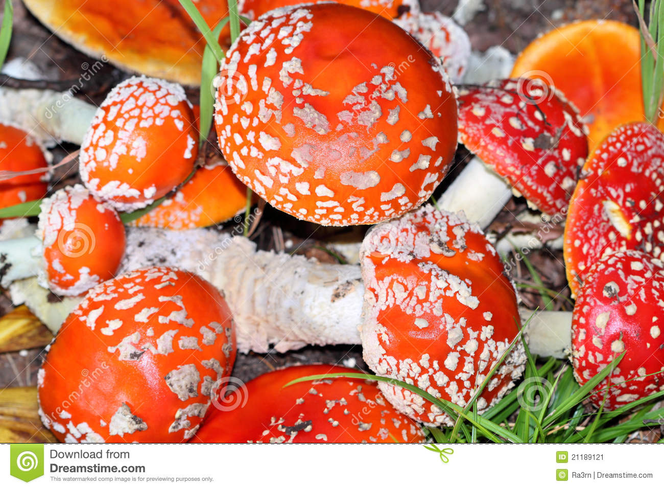 Background of the fly agaric