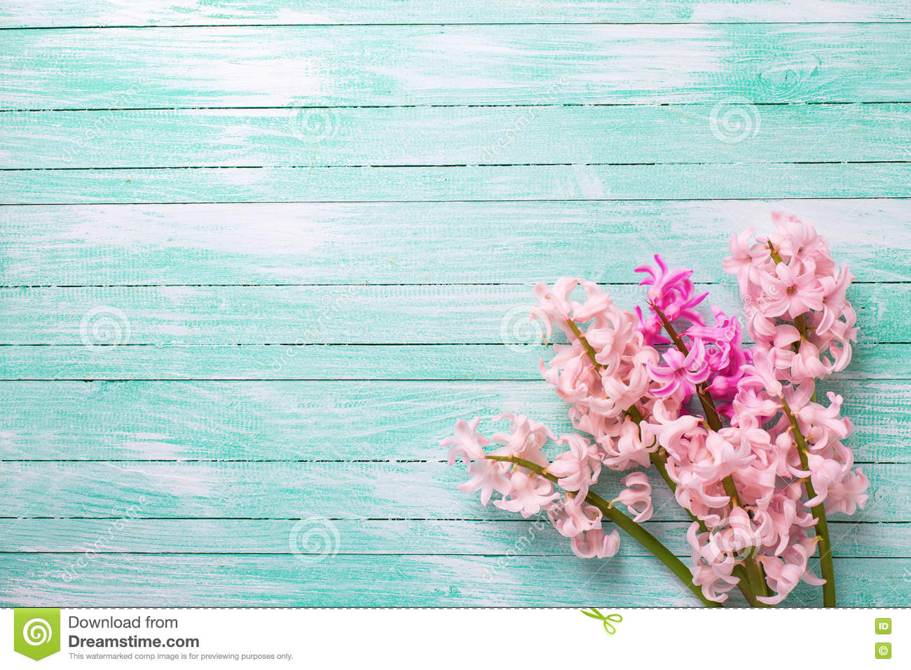 Background with fresh pink flower hyacinths on turquoise paint