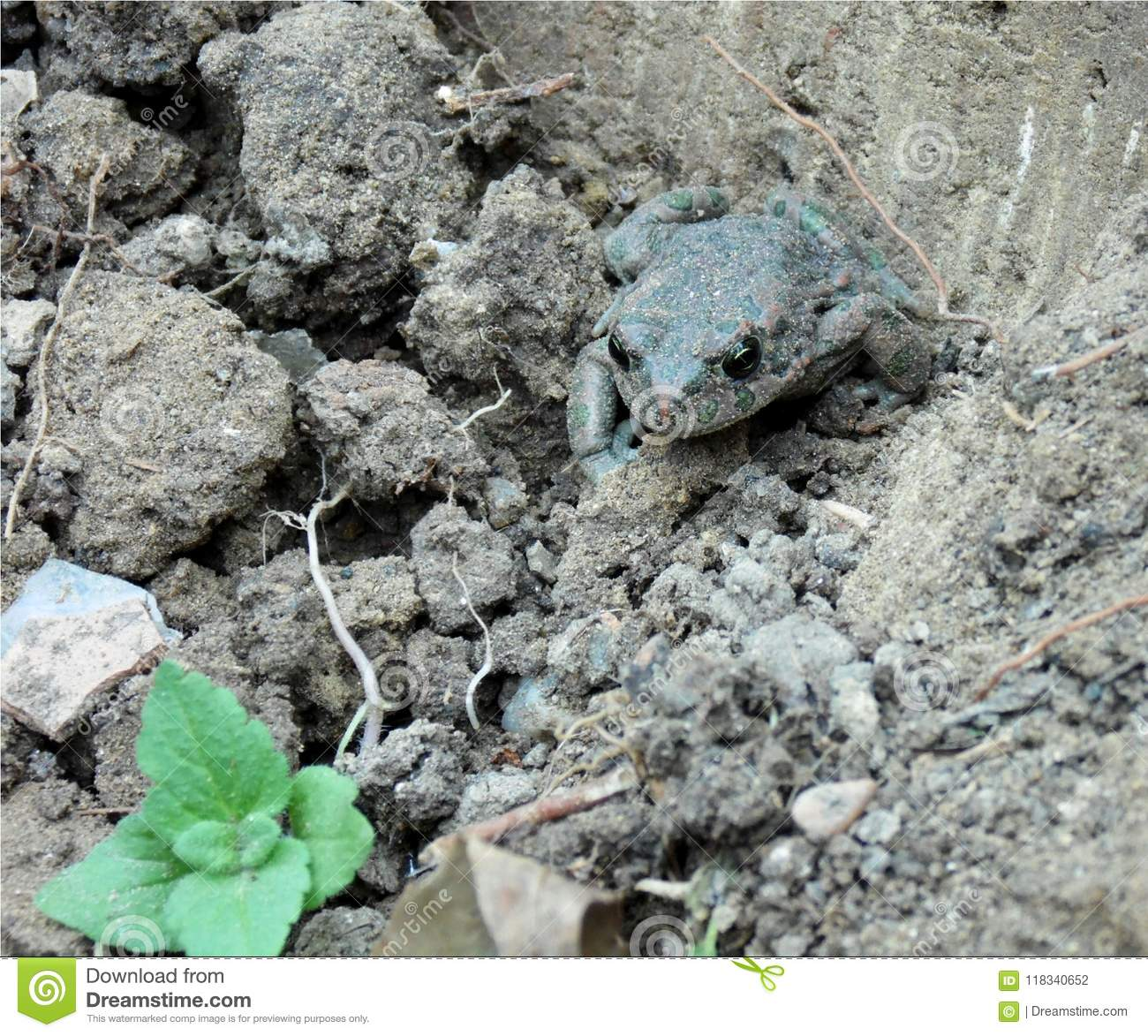 Closeup of a frog that lives in the ground, amphibian with green and red spots