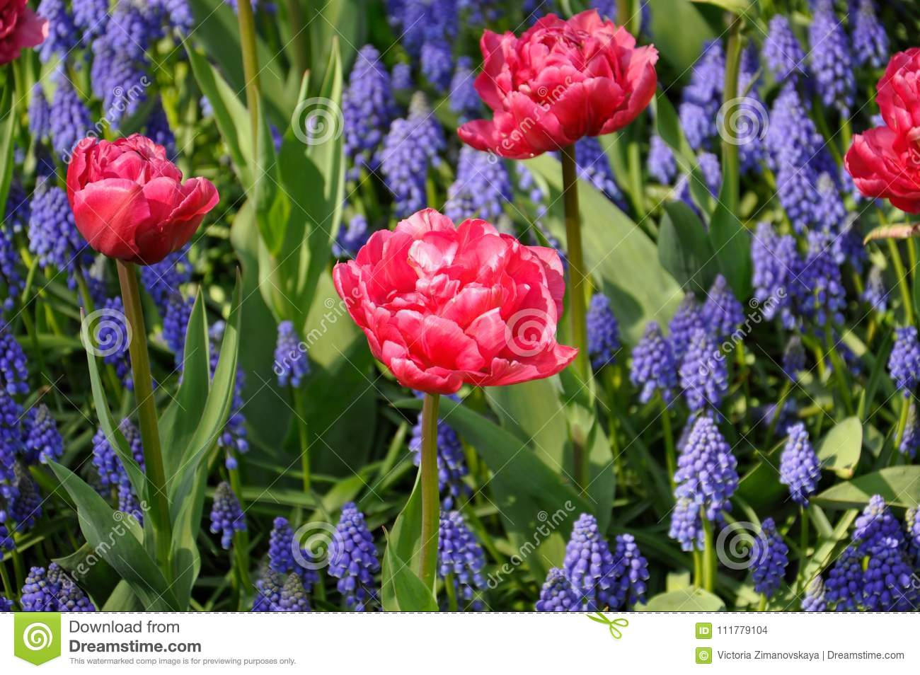 Background grape hyacinth Muscari and pink tulips flowering. Macro of blue Muscari flower meadow
