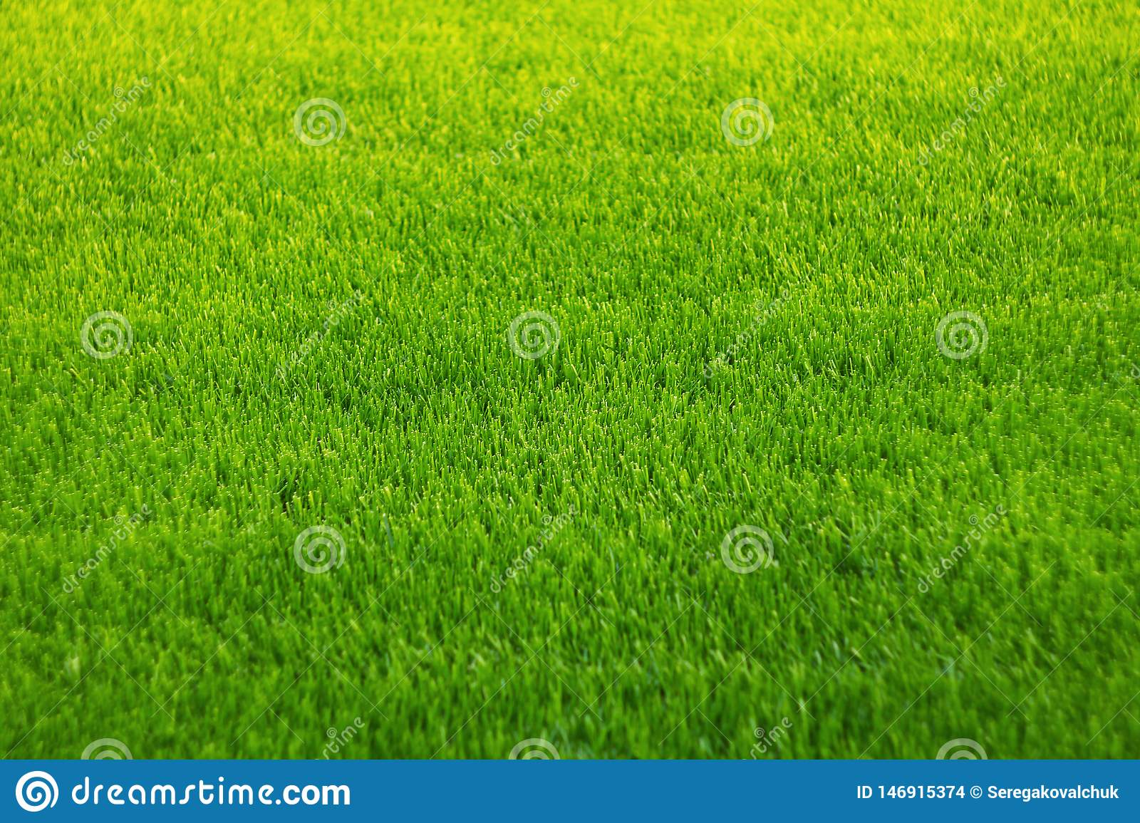 Background of green grass. Amazing grass texture. Green background.Park lawn texture