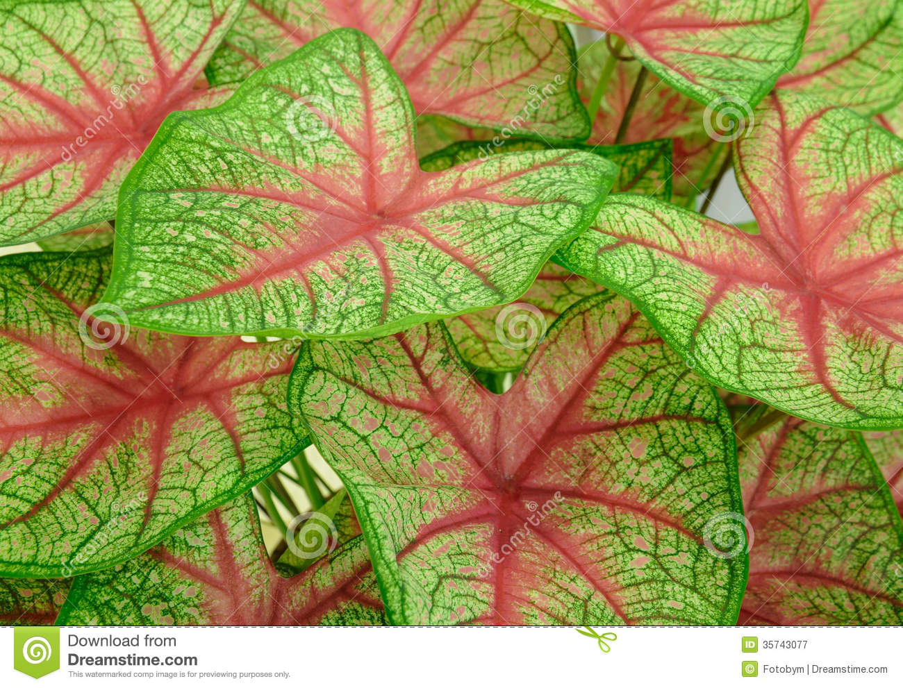 Background Of Green Leave Red Veins Stock Image Image