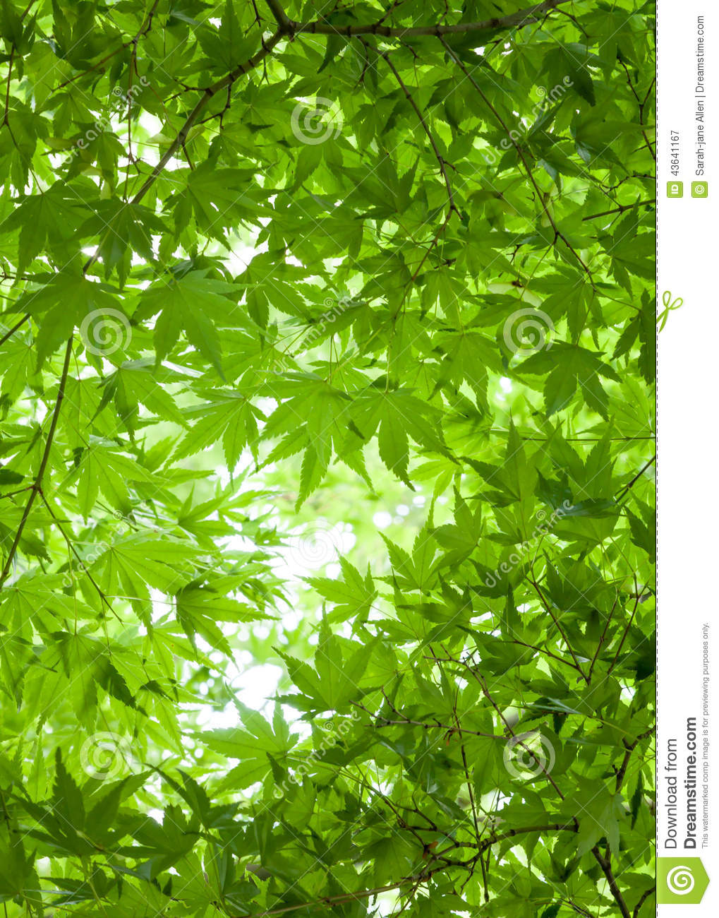 Royalty-Free Stock Photo  sc 1 st  Dreamstime.com & Background Of Green Leaves Of Japanese Maple Tree Canopy Overhea ...