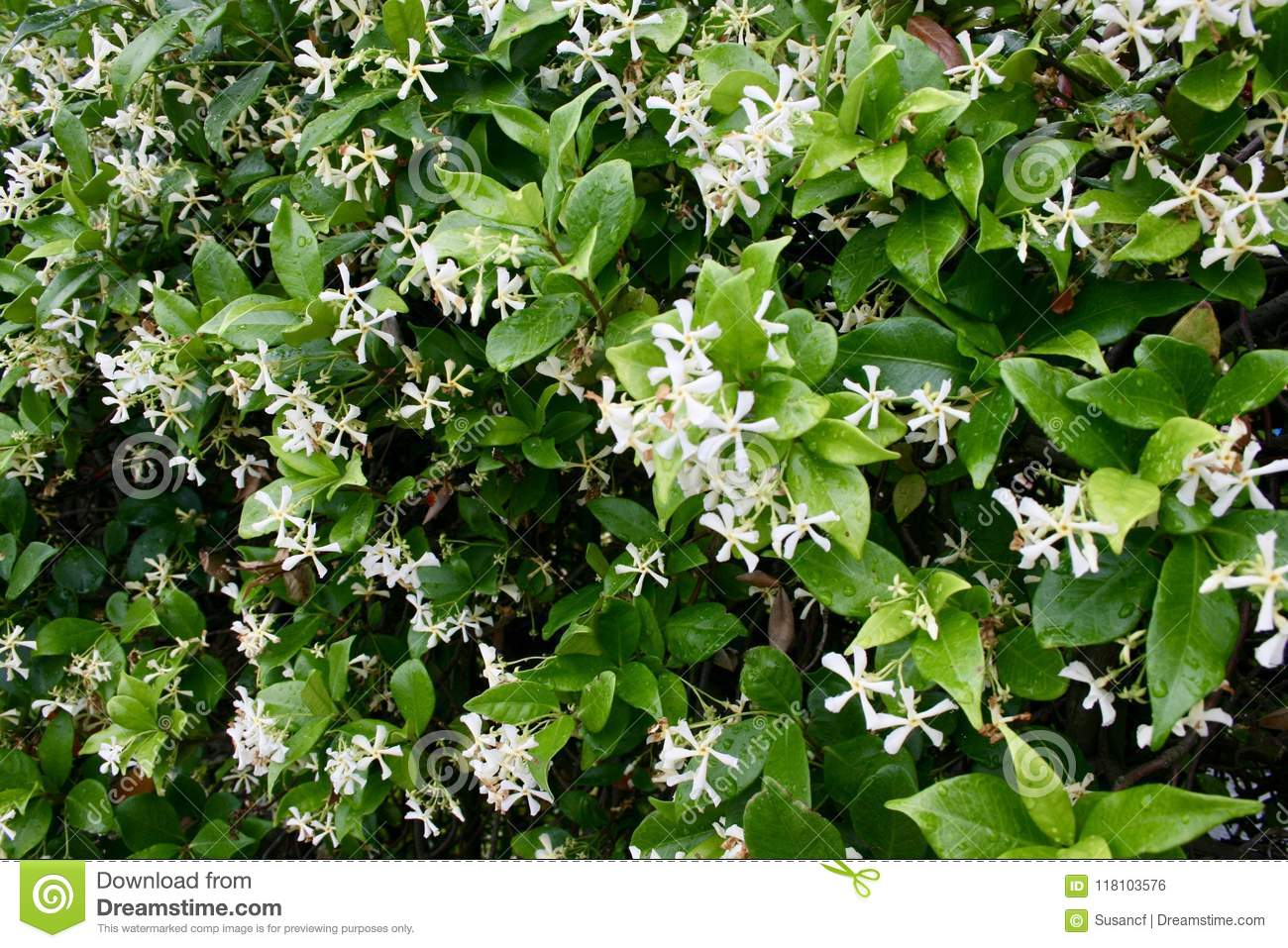 Green Plant With Pretty Small White Flowers Stock Photo Image Of