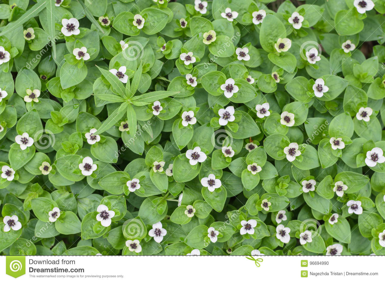 Background Of Green Plants With Small White Flowers Stock Photo