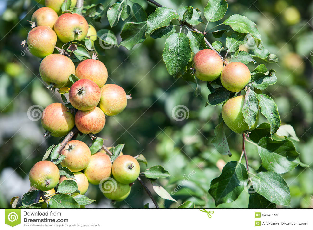 Background Of Green And Red Apples On Apple Tree Stock ...