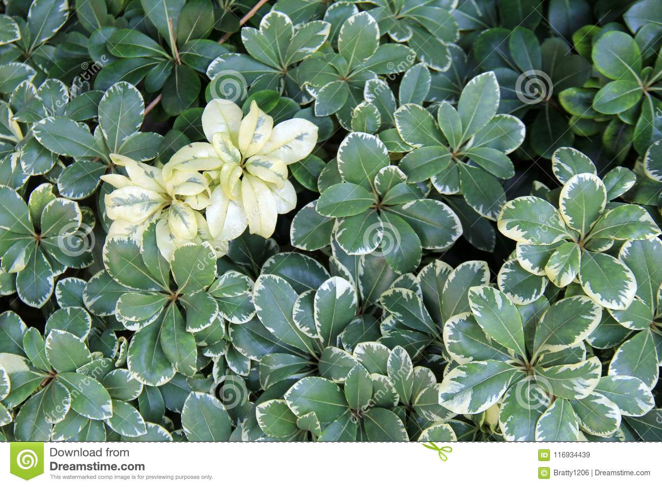 Pretty Leaves Of Ground Cover Plants With Greens And Whites For Added Color Stock Image Image Of Season Scene 116934439