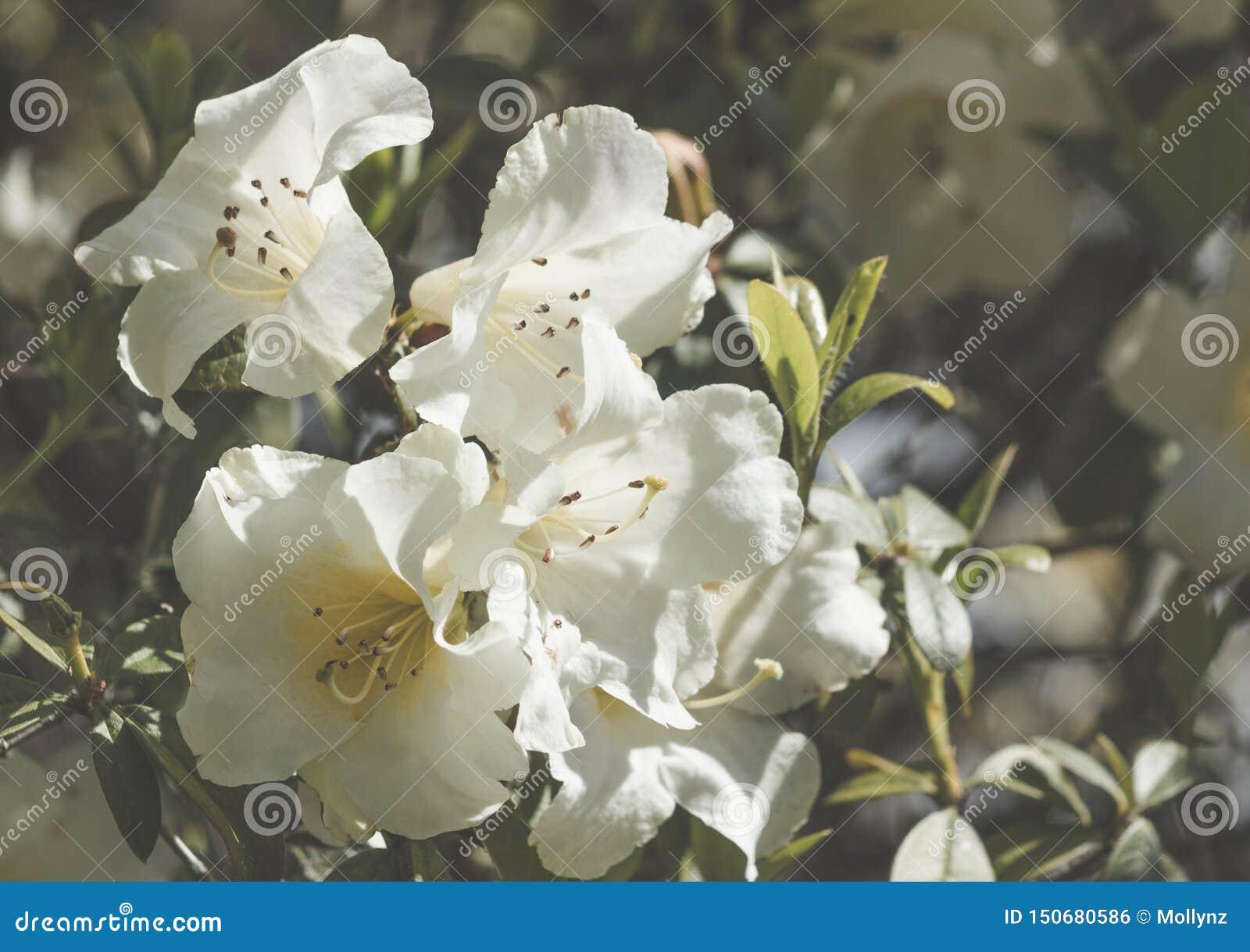 White azalea flowers