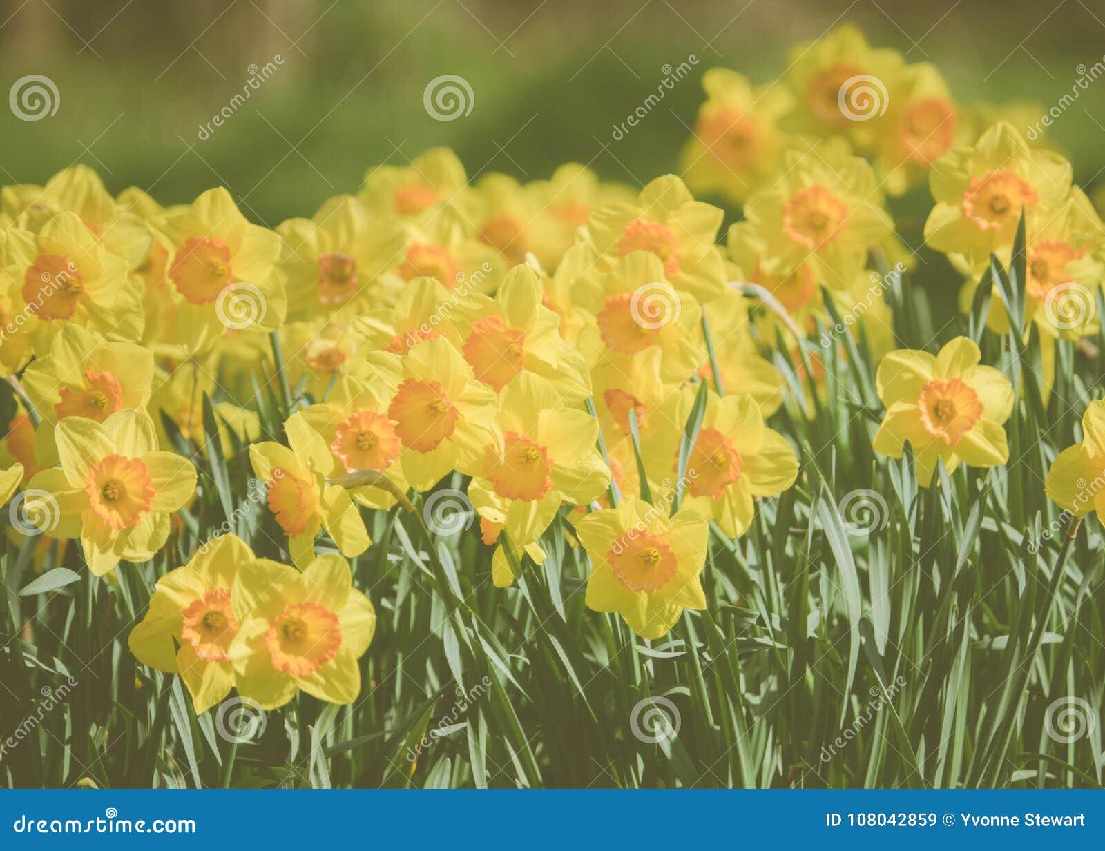 Yellow Spring Daffodils In Scotland Stock Image Image Of Daffodils