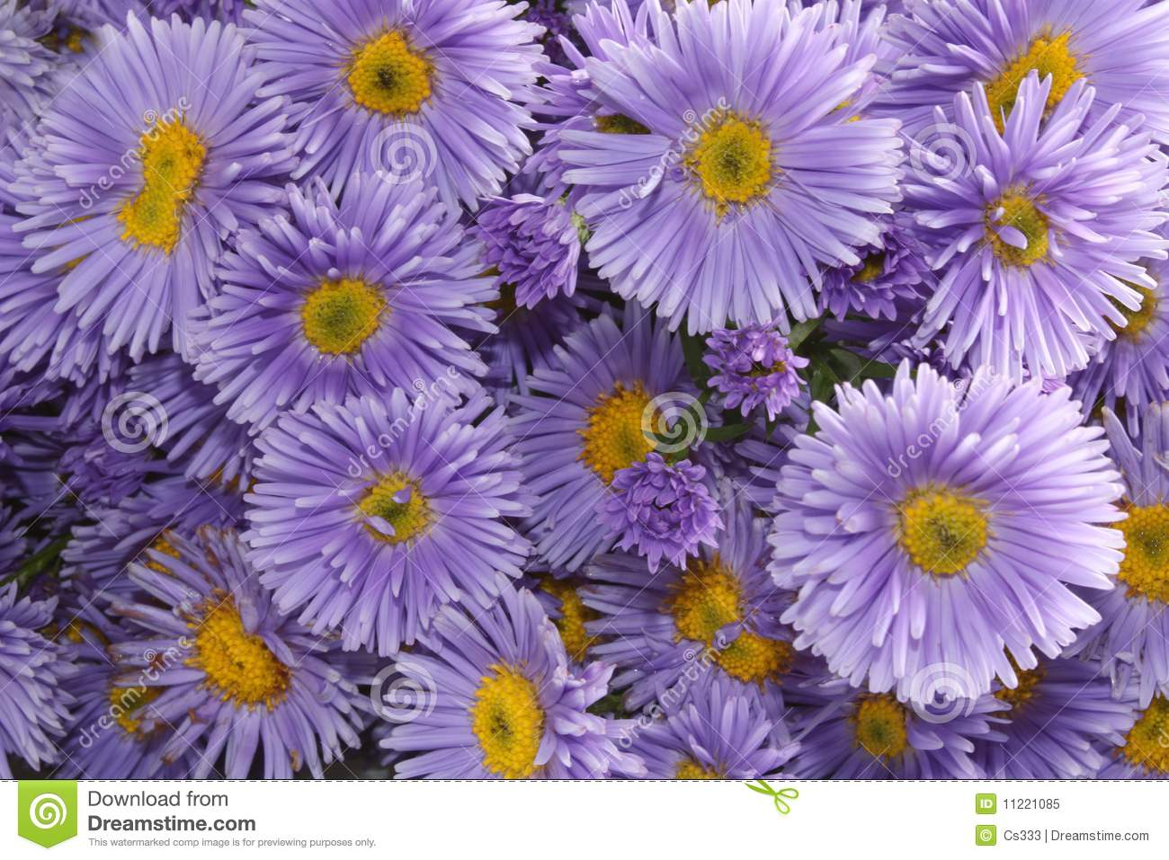 Close-up Three Violet Asters Isolated Stock Image - Image
