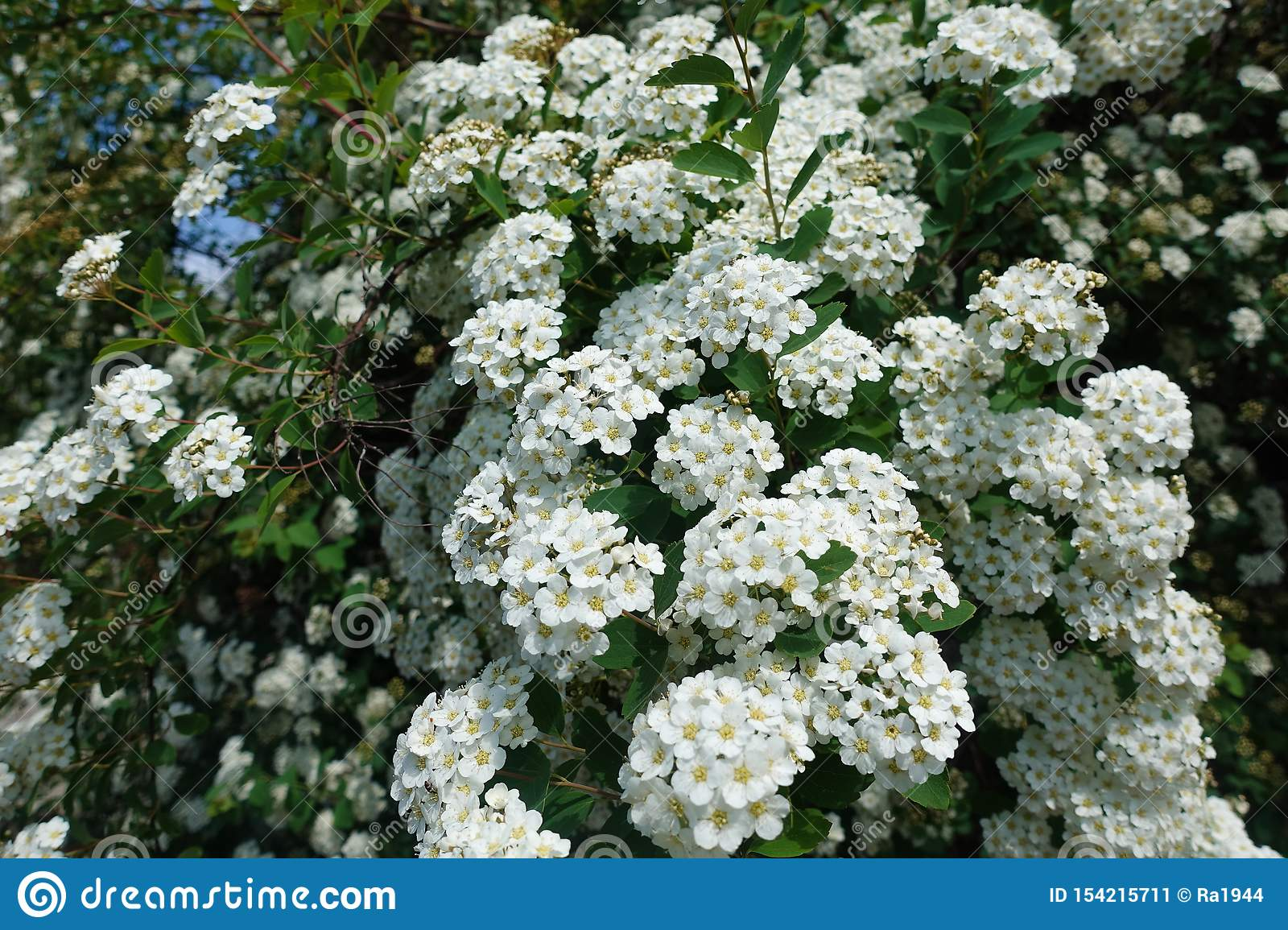 Background of little white flowers. Bush of small white flowers