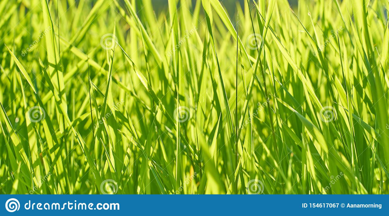 Background with lush bright green grass on a sunny summer day