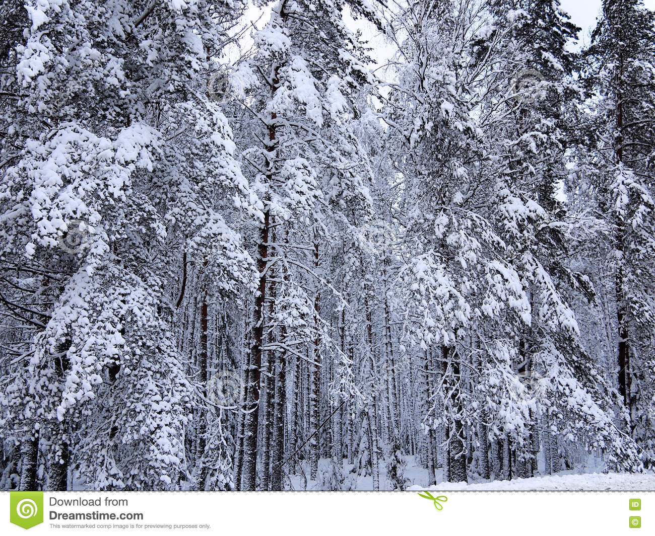 background of a number snow covered fir trees and pines of dark