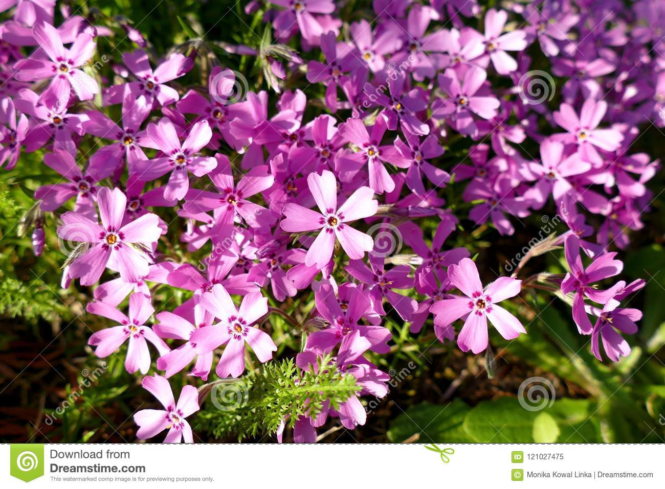 Background with numerous small pink moss phlox flowers 09 stock background with numerous small pink moss phlox flowers 09 mightylinksfo